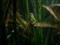 Male, Atlantic deep-snouted pipefish - Syngnathus typhle typhle