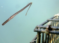 Mediterranean deep-snouted pipefish - Syngnathus typhle rondeleti
