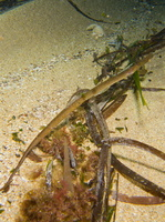 Male, Mediterranean deep-snouted pipefish - Syngnathus typhle rondeleti