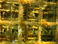 Straightnose pipefish - Nerophis ophidion