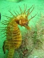 Female, Long-snouted seahorse - Hippocampus guttulatus