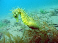 Male, Long-snouted seahorse - Hippocampus guttulatus