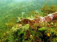 Greater pipefish - Syngnathus acus