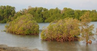 In the mangrove of Moucha island