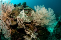 Hard corals and gorgonian sea fans - Tumbak