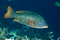 Lethrinus erythracanthus