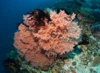 Crinoids and Gorgonian sea fan
