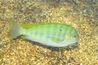 The 17 herbivorous species studied: Pseudosimochromis curvifrons