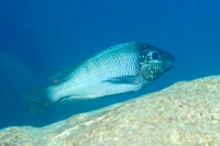 "The 17 herbivorous species studied: Petrochromis polyodon ""Texas"" (male)"