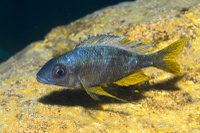 The 17 herbivorous species studied: Ophthalmotilapia ventralis (male)