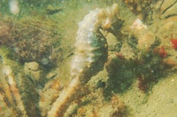 Short-snouted seahorse - Hippocampus hippocampus