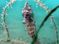 Female, Short-snouted seahorse - Hippocampus hippocampus