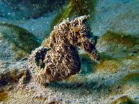 Male, Short-snouted seahorse - Hippocampus hippocampus