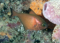 Poisson-hachette - Pempheris vanicolensis